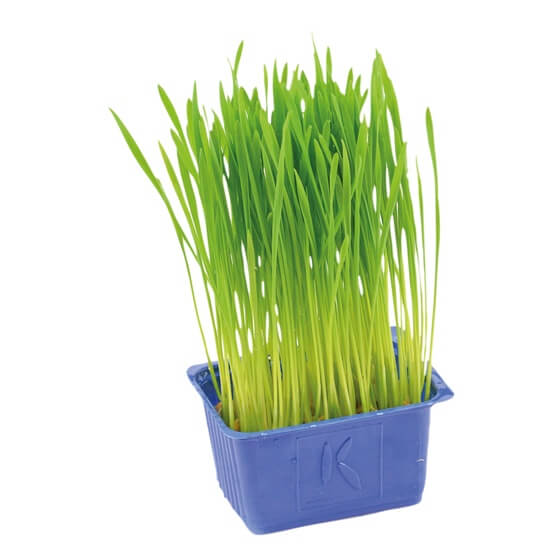 Wheat Grass Weizenkeime